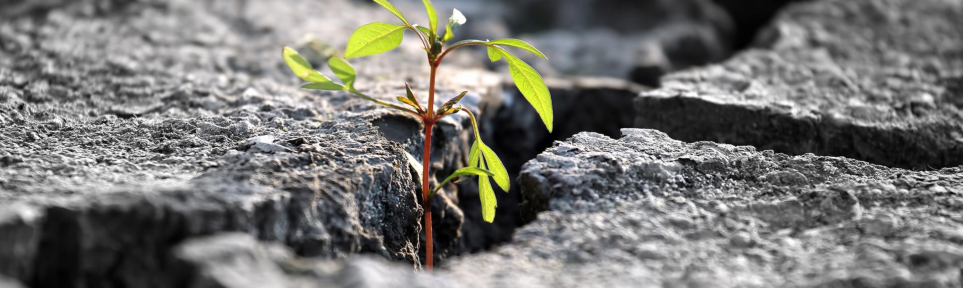 Plante dans les rochers